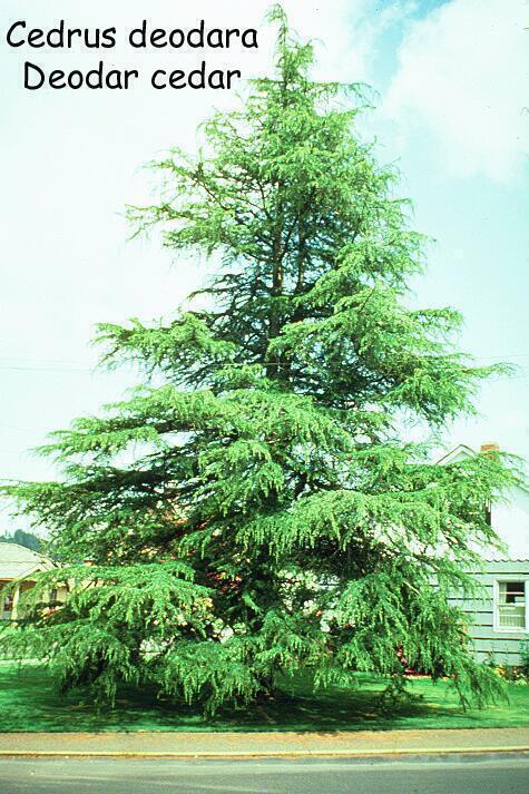 Deodar Cedar Tree Varieties ~ Click for more photos